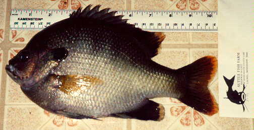 Coppernose bluegill for Suttle fish farm